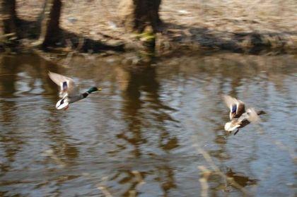 para kaczek odleciała