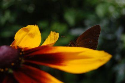 motyl w mniejsze kropki